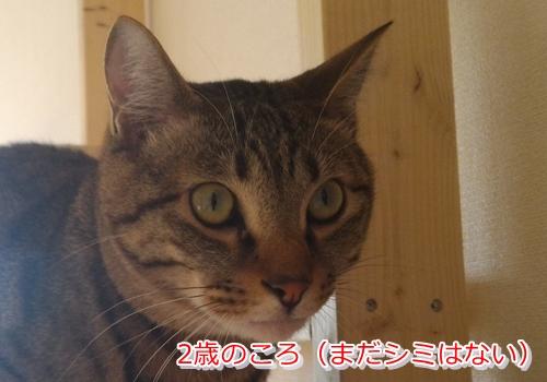 猫の目にある茶色や黒色のシミは病気の可能性あり(2歳)