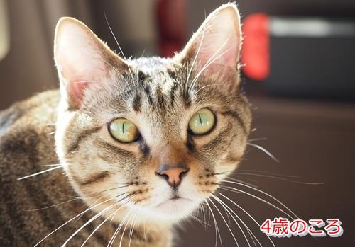 猫の目にある茶色や黒色のシミは病気の可能性あり(4歳)