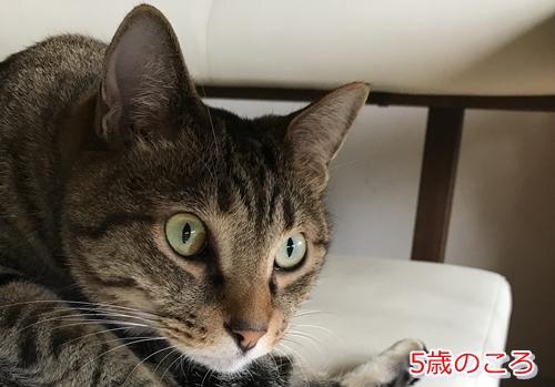 猫の目にある茶色や黒色のシミは病気の可能性あり(5歳)