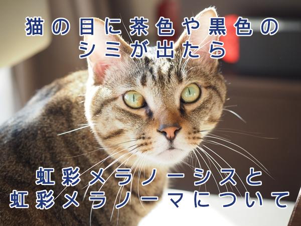 猫の目に茶色や黒色のシミが出たら、すぐに病院を受診しよう