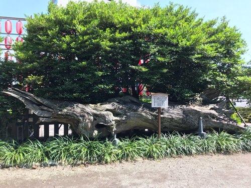 瀬戸神社の蛇混柏(じゃびゃくしん)